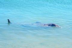 Dolphins at monkey mia, sharkes bay, western australia 7. Dolphins in the ocean at monkey mia, sharkes bay, western australia stock photo