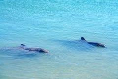 Dolphins at monkey mia, sharkes bay, western australia 8. Dolphins in the ocean at monkey mia, sharkes bay, western australia stock photography