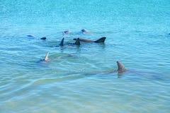 Dolphins at monkey mia, sharkes bay, western australia 10. Dolphins in the ocean at monkey mia, sharkes bay, western australia stock photo