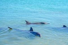 Dolphins at monkey mia, sharkes bay, western australia 11. Dolphins in the ocean at monkey mia, sharkes bay, western australia stock image
