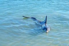 Dolphins at monkey mia, sharkes bay, western australia 13. Dolphins in the ocean at monkey mia, sharkes bay, western australia royalty free stock images