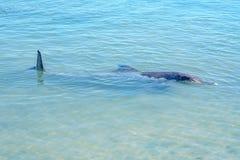 Dolphins at monkey mia, sharkes bay, western australia 14. Dolphins in the ocean at monkey mia, sharkes bay, western australia stock photography