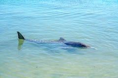 Dolphins at monkey mia, sharkes bay, western australia 15. Dolphins in the ocean at monkey mia, sharkes bay, western australia stock photos