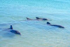 Dolphins at monkey mia, sharkes bay, western australia 12. Dolphins in the ocean at monkey mia, sharkes bay, western australia stock images