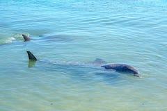 Dolphins at monkey mia, sharkes bay, western australia 16. Dolphins in the ocean at monkey mia, sharkes bay, western australia royalty free stock image