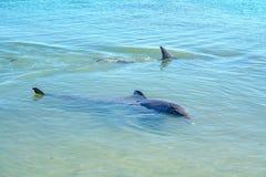 Dolphins at monkey mia, sharkes bay, western australia 17. Dolphins in the ocean at monkey mia, sharkes bay, western australia stock photo