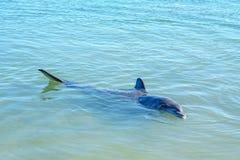 Dolphins at monkey mia, sharkes bay, western australia 19. Dolphins in the ocean at monkey mia, sharkes bay, western australia royalty free stock images