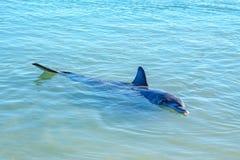 Dolphins at monkey mia, sharkes bay, western australia 20. Dolphins in the ocean at monkey mia, sharkes bay, western australia stock image