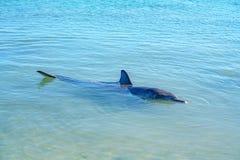 Dolphins at monkey mia, sharkes bay, western australia 18. Dolphins in the ocean at monkey mia, sharkes bay, western australia stock photos
