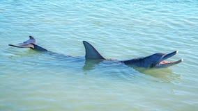 Dolphins at monkey mia, sharkes bay, western australia 24. Dolphins in the ocean at monkey mia, sharkes bay, western australia stock photo
