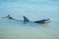 Dolphins at monkey mia, sharkes bay, western australia 23. Dolphins in the ocean at monkey mia, sharkes bay, western australia royalty free stock images