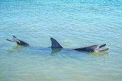 Dolphins at monkey mia, sharkes bay, western australia 25. Dolphins in the ocean at monkey mia, sharkes bay, western australia stock images