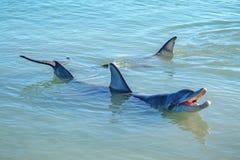Dolphins at monkey mia, sharkes bay, western australia 29. Dolphins in the ocean at monkey mia, sharkes bay, western australia royalty free stock photos