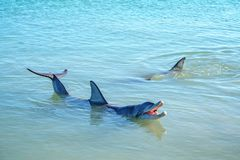 Dolphins at monkey mia, sharkes bay, western australia 27. Dolphins in the ocean at monkey mia, sharkes bay, western australia royalty free stock photography