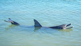 Dolphins at monkey mia, sharkes bay, western australia 26. Dolphins in the ocean at monkey mia, sharkes bay, western australia stock photo