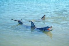 Dolphins at monkey mia, sharkes bay, western australia 28. Dolphins in the ocean at monkey mia, sharkes bay, western australia stock image