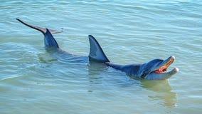 Dolphins at monkey mia, sharkes bay, western australia 32. Dolphins in the ocean at monkey mia, sharkes bay, western australia stock images