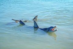 Dolphins at monkey mia, sharkes bay, western australia 30. Dolphins in the ocean at monkey mia, sharkes bay, western australia royalty free stock photo