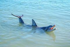 Dolphins at monkey mia, sharkes bay, western australia 34. Dolphins in the ocean at monkey mia, sharkes bay, western australia royalty free stock images