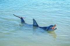 Dolphins at monkey mia, sharkes bay, western australia 33. Dolphins in the ocean at monkey mia, sharkes bay, western australia stock image