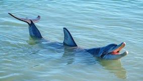 Dolphins at monkey mia, sharkes bay, western australia 35. Dolphins in the ocean at monkey mia, sharkes bay, western australia royalty free stock photo