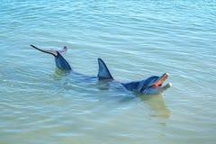 Dolphins at monkey mia, sharkes bay, western australia 36. Dolphins in the ocean at monkey mia, sharkes bay, western australia royalty free stock image
