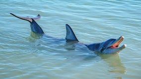 Dolphins at monkey mia, sharkes bay, western australia 37. Dolphins in the ocean at monkey mia, sharkes bay, western australia royalty free stock photos