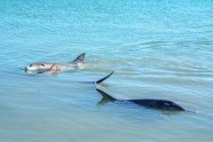 Dolphins at monkey mia, sharkes bay, western australia 39. Dolphins in the ocean at monkey mia, sharkes bay, western australia stock image