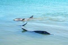 Dolphins at monkey mia, sharkes bay, western australia 38. Dolphins in the ocean at monkey mia, sharkes bay, western australia stock photos