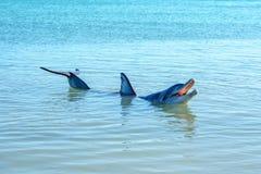 Dolphins at monkey mia, sharkes bay, western australia 43. Dolphins in the ocean at monkey mia, sharkes bay, western australia royalty free stock image