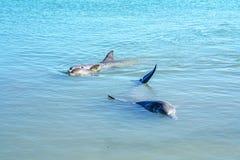 Dolphins at monkey mia, sharkes bay, western australia 42. Dolphins in the ocean at monkey mia, sharkes bay, western australia stock image