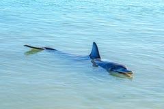 Dolphins at monkey mia, sharkes bay, western australia 41. Dolphins in the ocean at monkey mia, sharkes bay, western australia stock photography