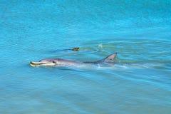 Dolphins at monkey mia, sharkes bay, western australia 40. Dolphins in the ocean at monkey mia, sharkes bay, western australia royalty free stock images