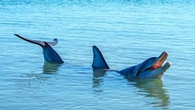 Dolphins at monkey mia, sharkes bay, western australia 48. Dolphins in the ocean at monkey mia, sharkes bay, western australia royalty free stock image