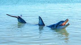 Dolphins at monkey mia, sharkes bay, western australia 44. Dolphins in the ocean at monkey mia, sharkes bay, western australia stock images