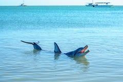 Dolphins at monkey mia, sharkes bay, western australia 45. Dolphins in the ocean at monkey mia, sharkes bay, western australia royalty free stock photos