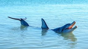 Dolphins at monkey mia, sharkes bay, western australia 46. Dolphins in the ocean at monkey mia, sharkes bay, western australia stock photo