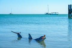 Dolphins at monkey mia, sharkes bay, western australia 47. Dolphins in the ocean at monkey mia, sharkes bay, western australia royalty free stock photography