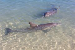 The Dolphins near the Beach Royalty Free Stock Photography
