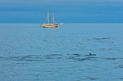 Dolphins at north atlantic waters near polar circle, Iceland Stock Image