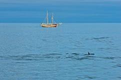 Dolphins at north atlantic waters near polar circle, Iceland Stock Image