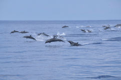Dolphins in ocean Royalty Free Stock Image
