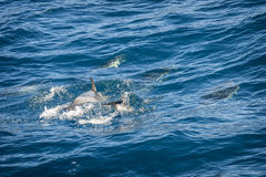 Dolphins in the ocean Royalty Free Stock Images