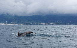 Dolphins in the ocean near the Vila Franca do Campo Stock Image