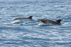 Dolphins in the ocean Sao Miguel Royalty Free Stock Photo