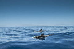 Dolphins in the Ocean at Tenerife Royalty Free Stock Photo