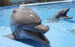 Dolphins open mouth Stock Photo