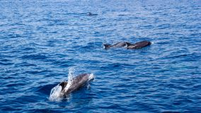 Dolphins in Open Ocean Royalty Free Stock Photo