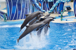 Dolphins. Orlando,Florida – September 27,2013: Dolphins performing at SeaWorld Orlando on September 27,2013 in Orlando, Florida. Photo taken Friday September Stock Photo