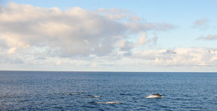 Dolphins in Pacific Ocean. Royalty Free Stock Image